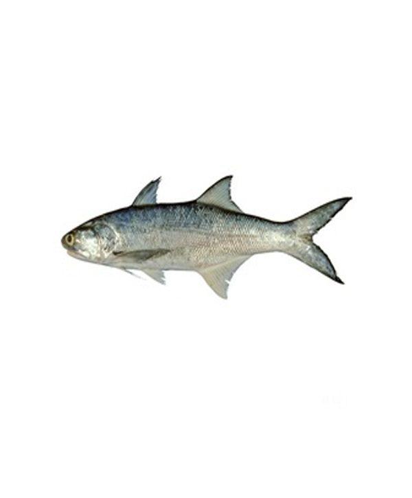 ماهی راشگو