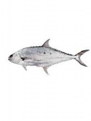 ماهی سارم