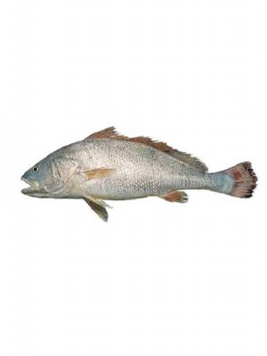 ماهی میش