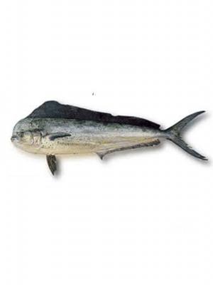 ماهی_کالیت