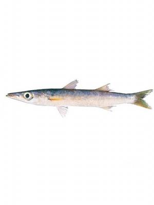 ماهی کوتر (شیر نیزه دم سبز)