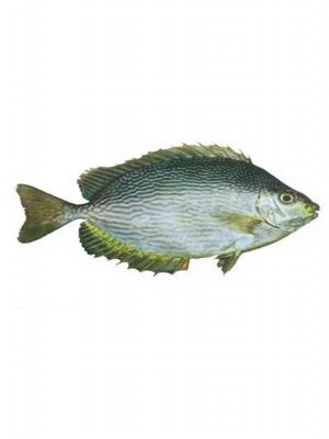 ماهی صافی