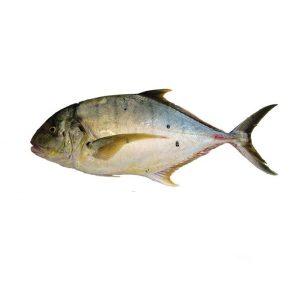 ماهی گیش